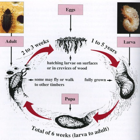Woodworm infestation Cardiff, Penarth, Barry, Cowbridge, South Wales