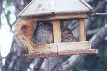 Squirrel taking cover in a bird table
