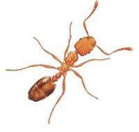 Pharaohs ant (Monomorium pharaonis) pest control image 2