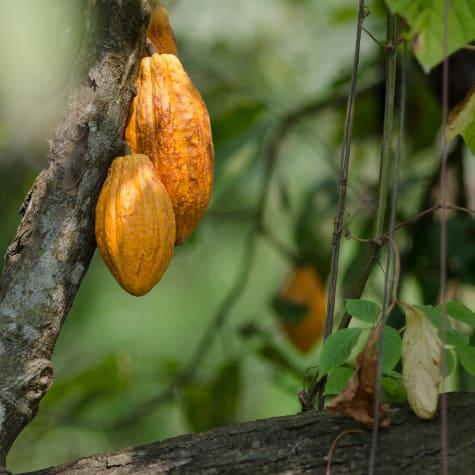 Cacao from Ecuador