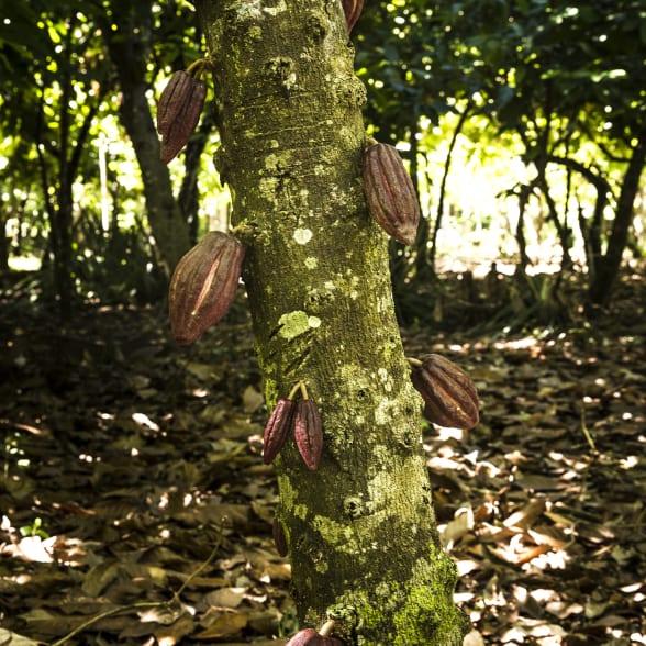 Valrhona.com-live-long-cacao-exemple-deforestation
