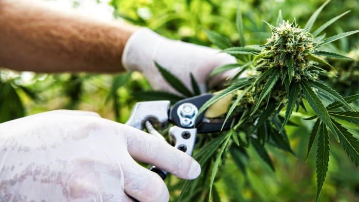 Top 5 APAC Countries for Legal Cannabis
