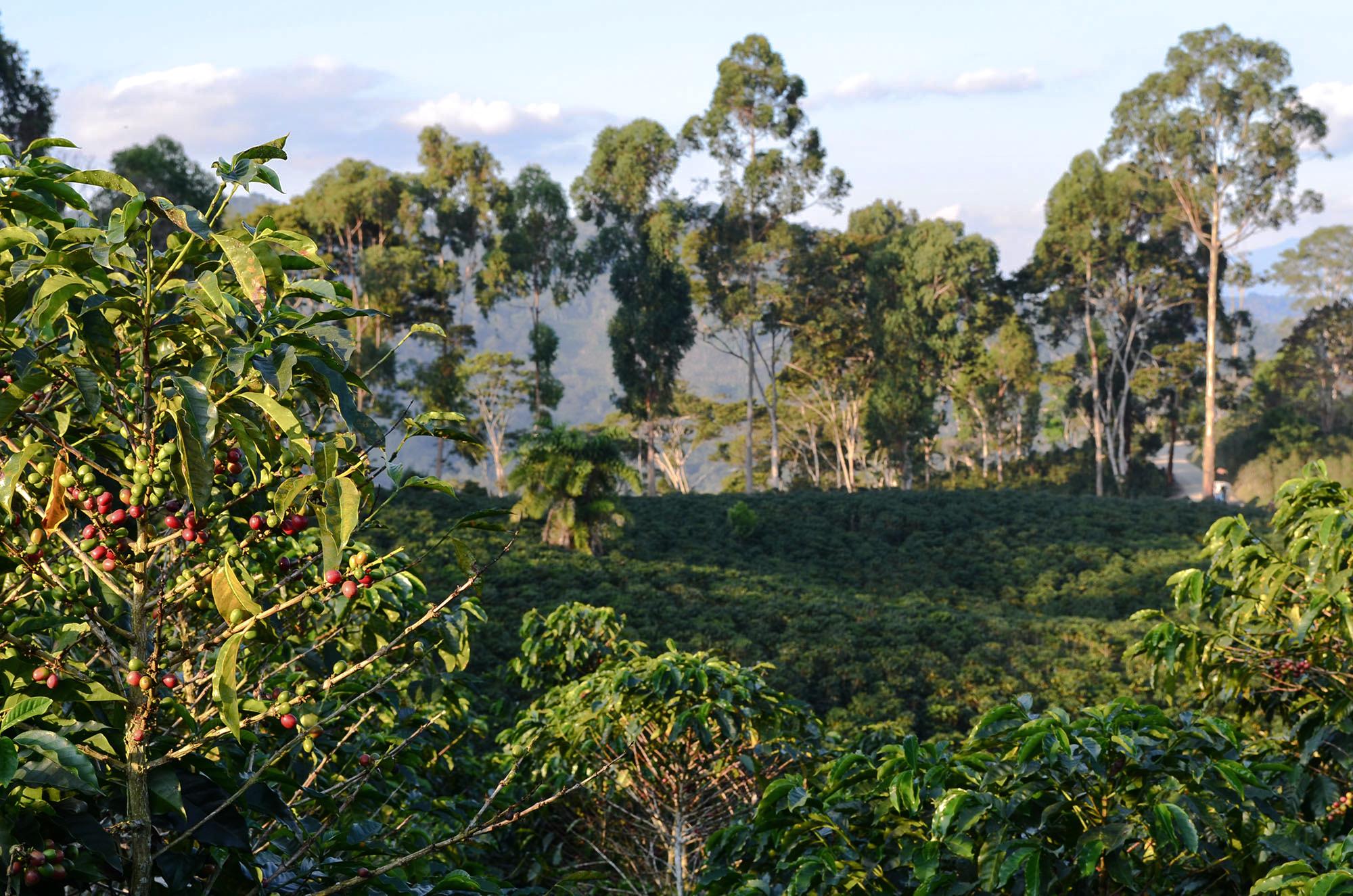 Coffee Bean Harvesting Field