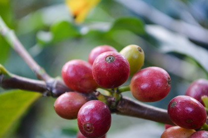 Fruit on coffee bean plant