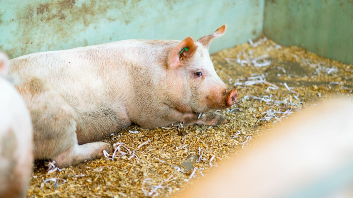 Virocid - En viktig nøkkel i kampen mot Afrikansk svinepest