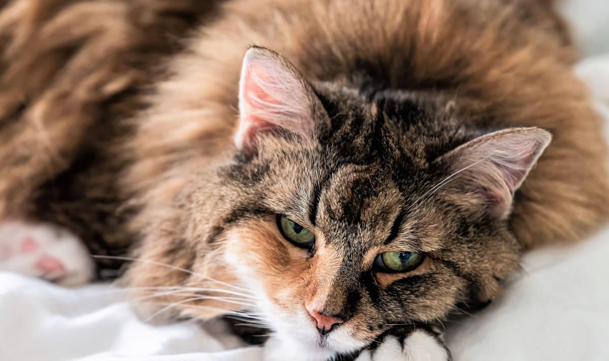 Om katters helse