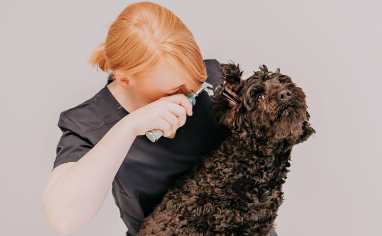Ørevondter hos hund