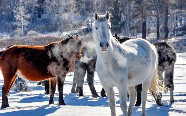 Hest om vinteren
