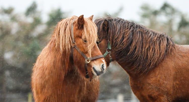 Magesår hos hest – ofte vanskeligere å oppdage enn man skulle tro!