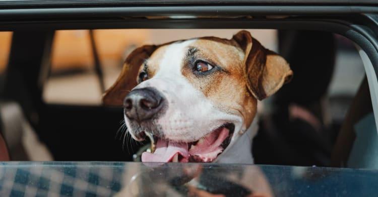 Heteslag kan gi alvorlig skade! Pass på hunden din i sommer  Av VESO Apotek