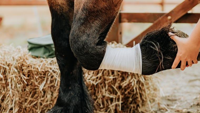 Hvorfor blir hester halte?