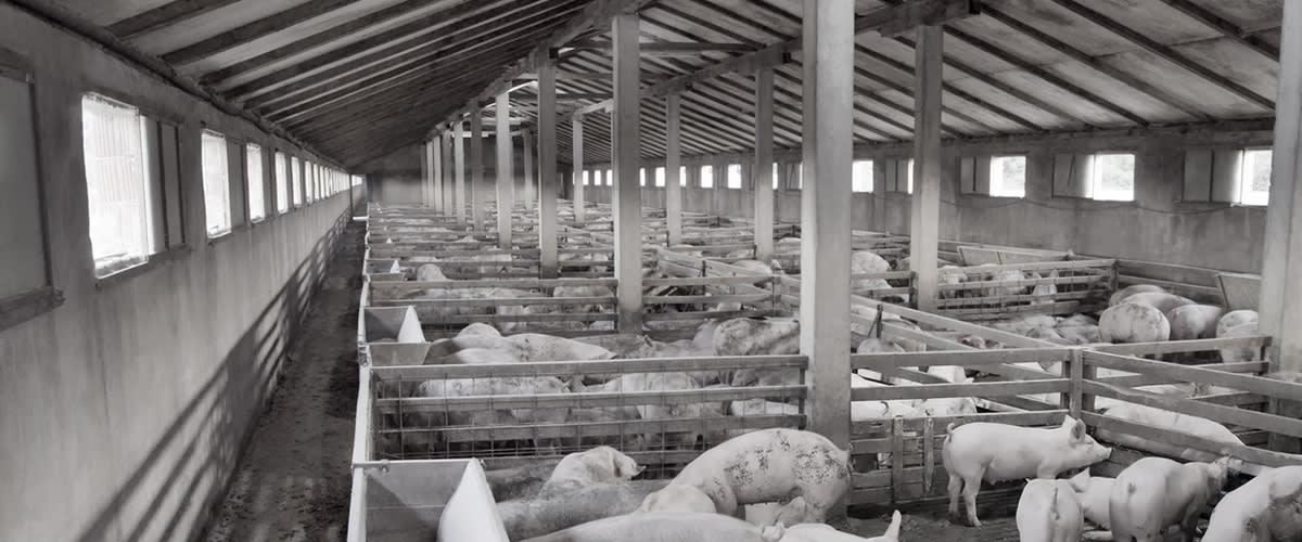 Rengjøring i grisehus