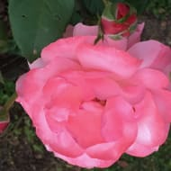 Roses et Choux255799
