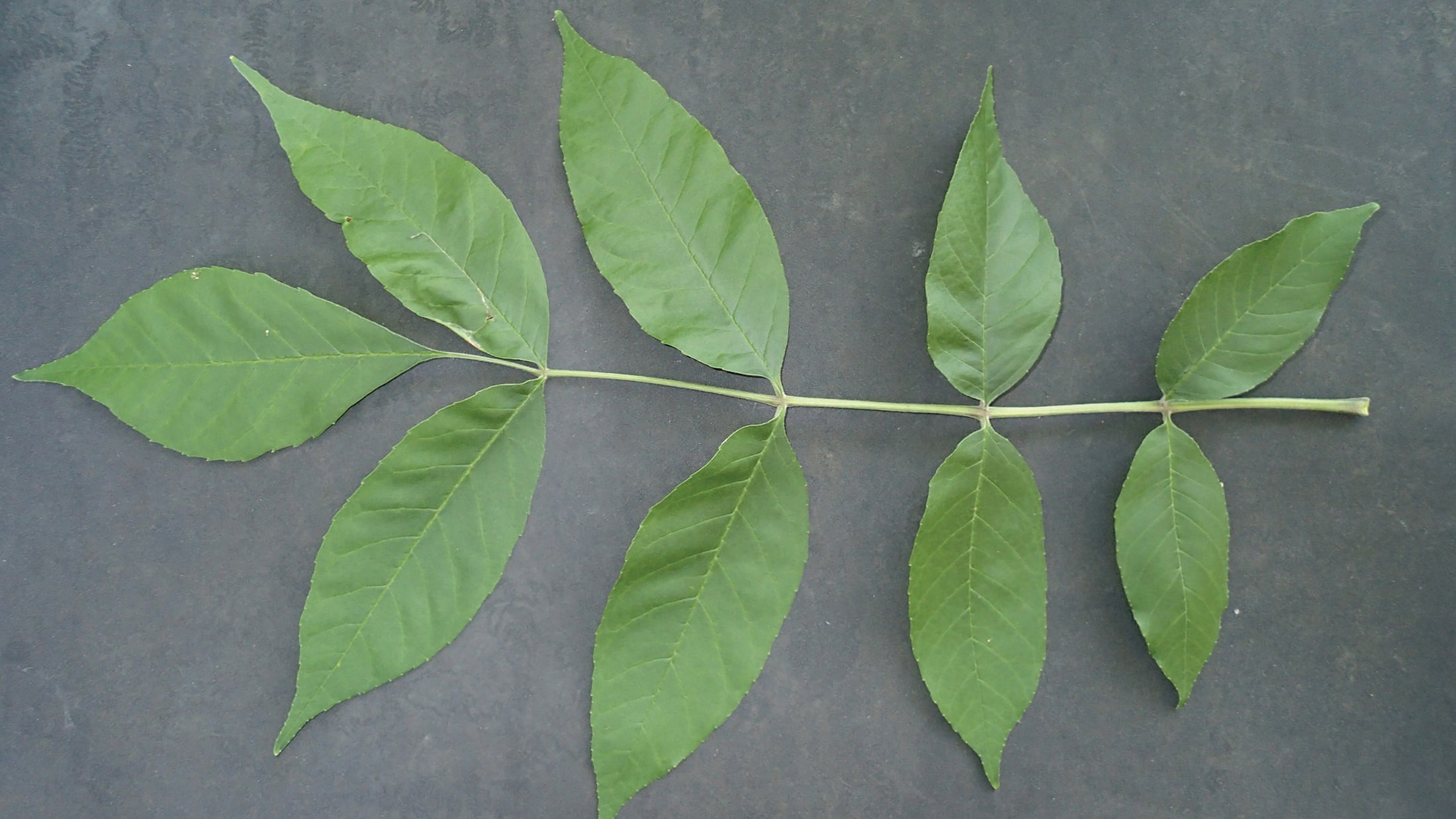Les feuilles composées d'un nombre impair de petites feuilles