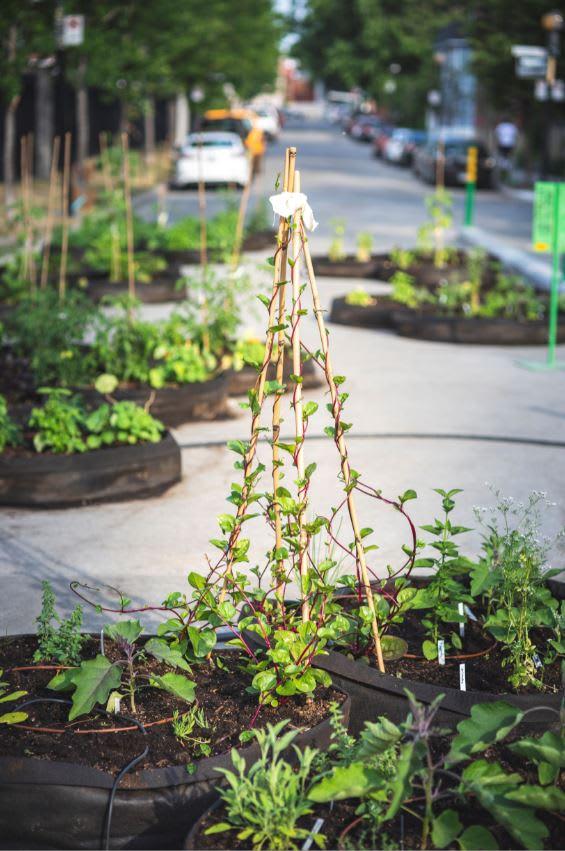 Plant d'épinards grimpants