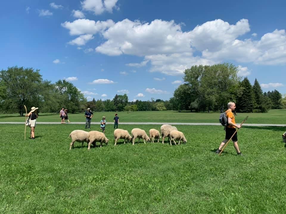 Mouton dans un parc