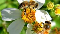 Deux abeilles butinent une fleur blanche
