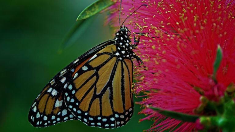 Papillons monarques Montréal