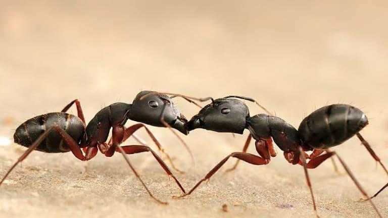 Deux fourmis noires se font face