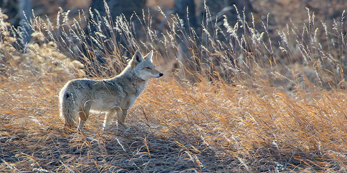 coyote dans un champ