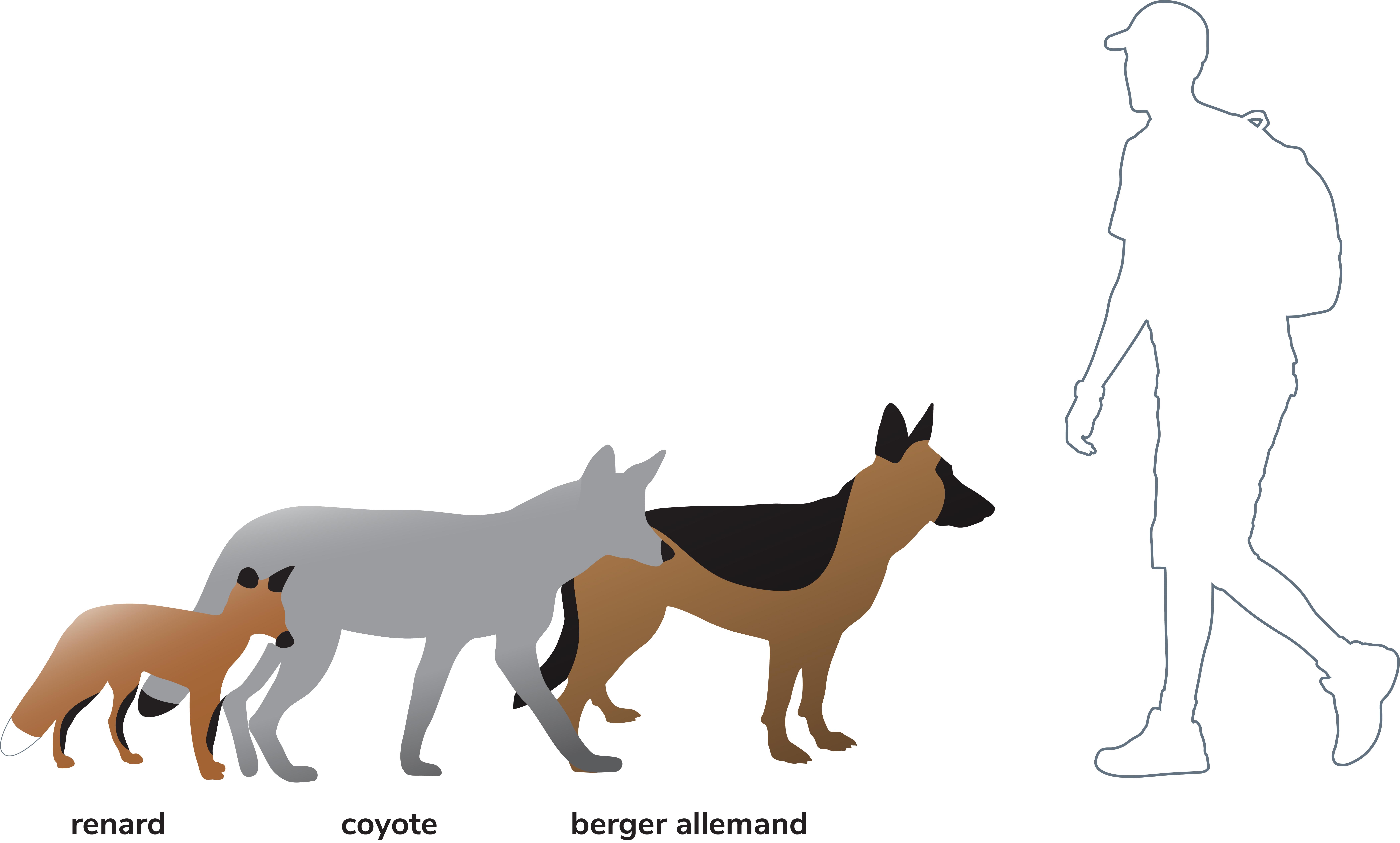 Différence entre un renard un chien et un coyote
