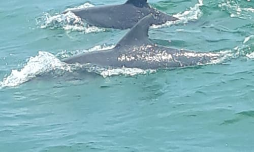 Two Dolphins on the Myrtle Beach Dolphin Sightseeing Cruises