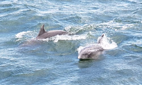Myrtle Beach Dolphin Sightseeing Cruises Pod of Dolphins