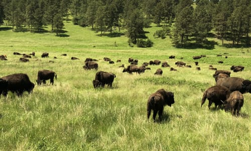 Bison with the Mount Rushmore and Black Hills Tour
