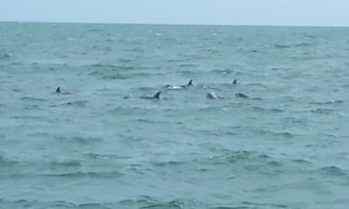 Pod of Dolphins on the Myrtle Beach Dolphin Sightseeing Cruises
