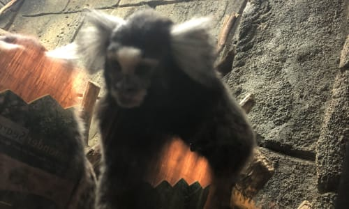 Monkey at the RainForest Adventures Discovery Zoo