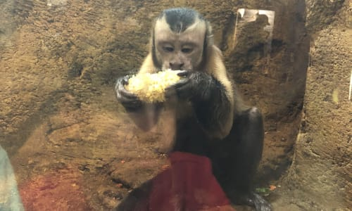 Monkey Eating at RainForest Adventures Discovery Zoo