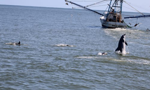 Leaping Dolphins with Myrtle Beach Dolphin Sightseeing Cruises