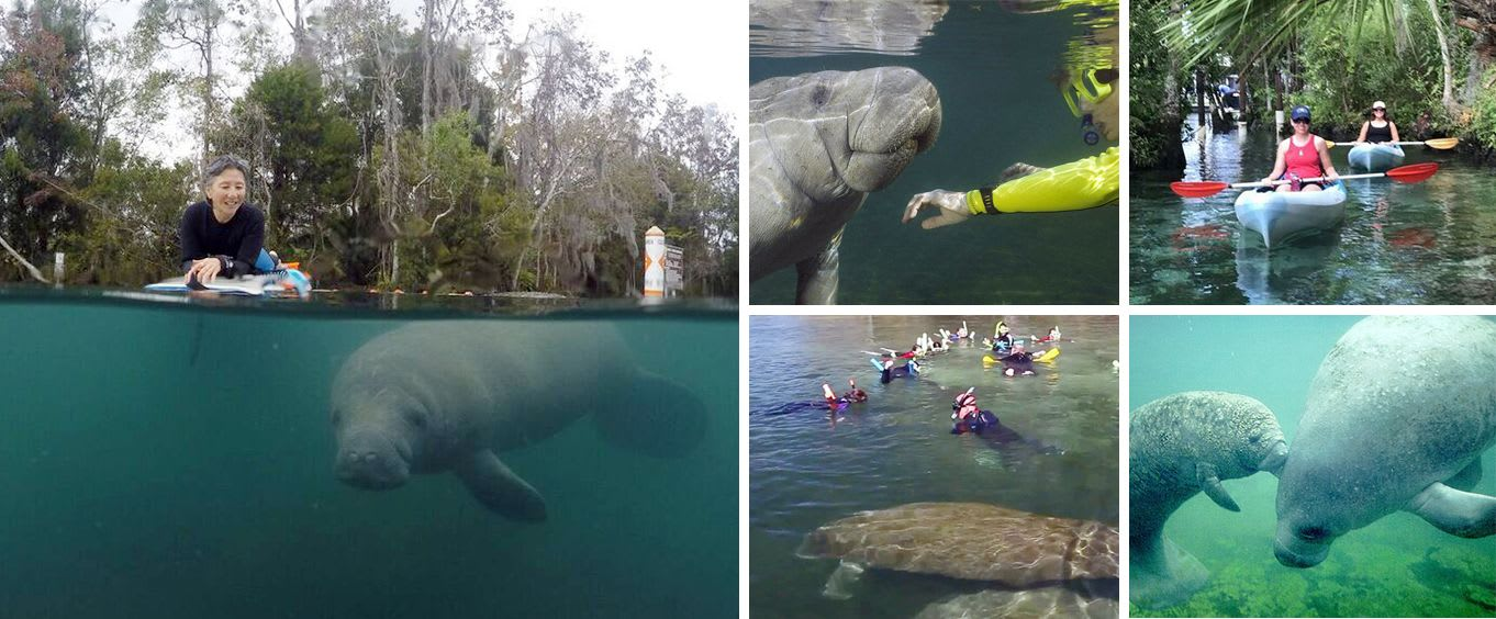 Florida Manatee Snorkel & Swim Adventure Tour