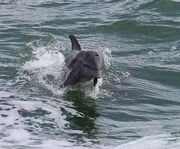 Dolphin Jumping on the Dolphin Encounter Tour