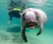 Up Close to Manatees with a Snorkel Swim with Manatees Tour
