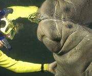 Touching a Manatee with Florida Manatee Snorkel and Swim Adventure Tour