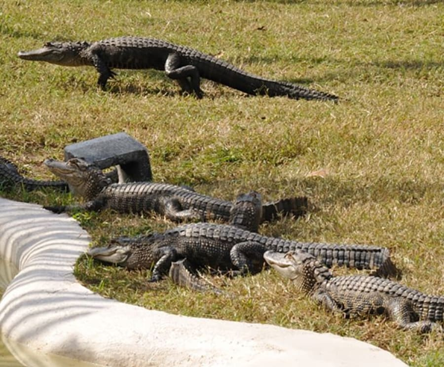 Amazing Gators with the Boggy Creek Daytime Airboat Ride