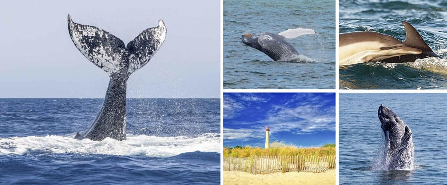 Cape May Jersey Shore Whale and Dolphin Watching Cruise Collage
