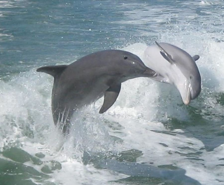 Leaping Dolphins on the Calypso Queen Sightseeing, Lunch, & Dinner Cruises Clearwater