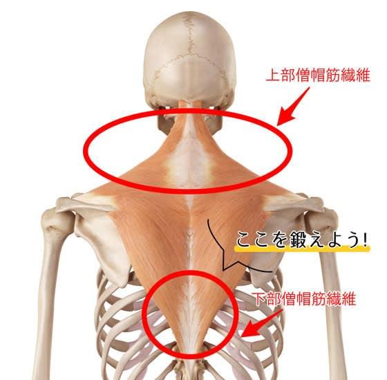 トレ 筋 戻す た 垂れ 胸