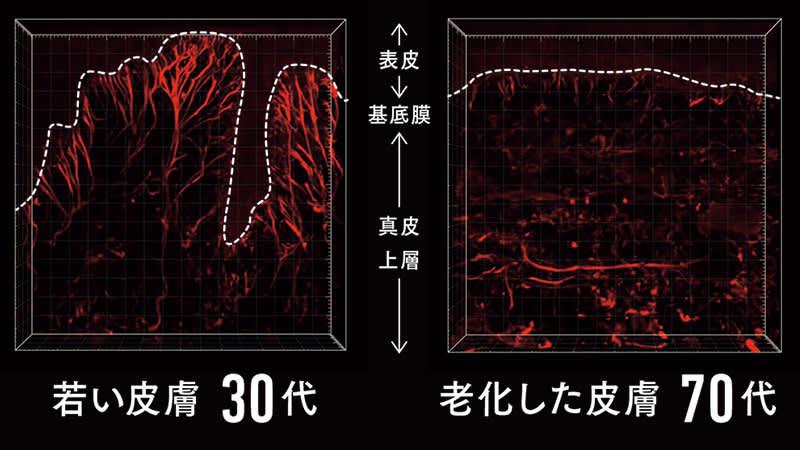 肌内部の3D観察によるエラスチン骨格の立体構造比較