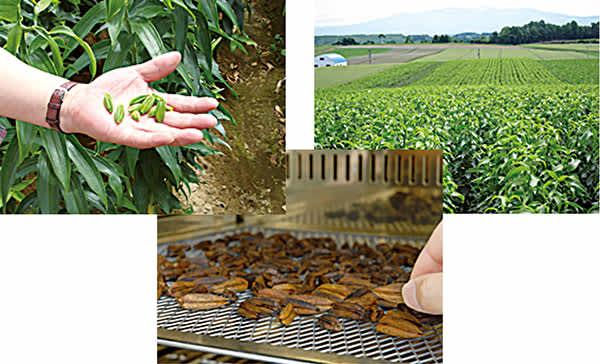 カサブランカエキスの製造過程/カサブランカの廃棄していた小さなつぼみを有効活用・カサブランカ畑・焙煎処理