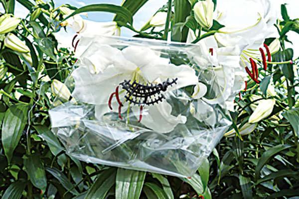 咲きたてのカサブランカの花