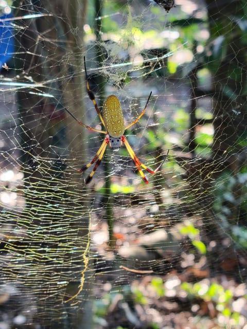 Golden silk orb spider