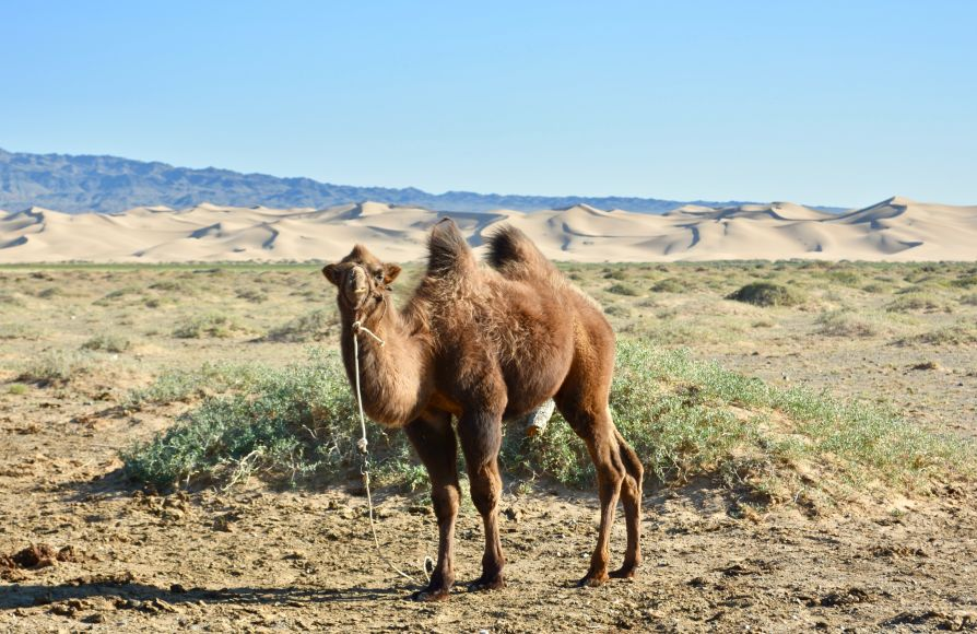desert-gobi-dunes-chameau
