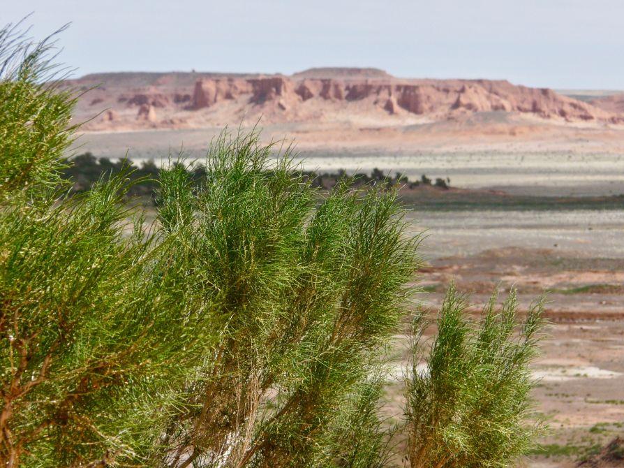 forêt saxaoul Desert gobi