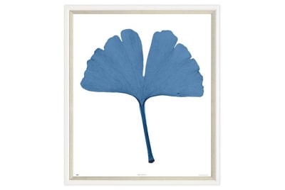 Blue Gingko Leaf