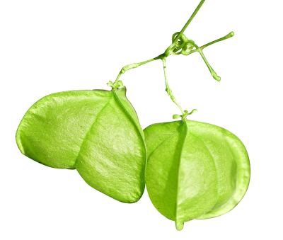 Cardiospermum-halicacabum_Cardiflor