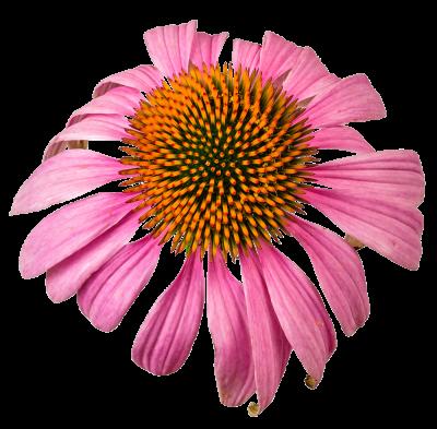 Echinacea_pallida_Prrrikweg