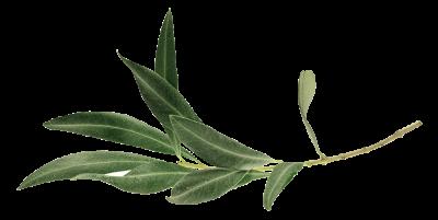 Olive_leaf_VSM_Kind_Waterpokkenspray